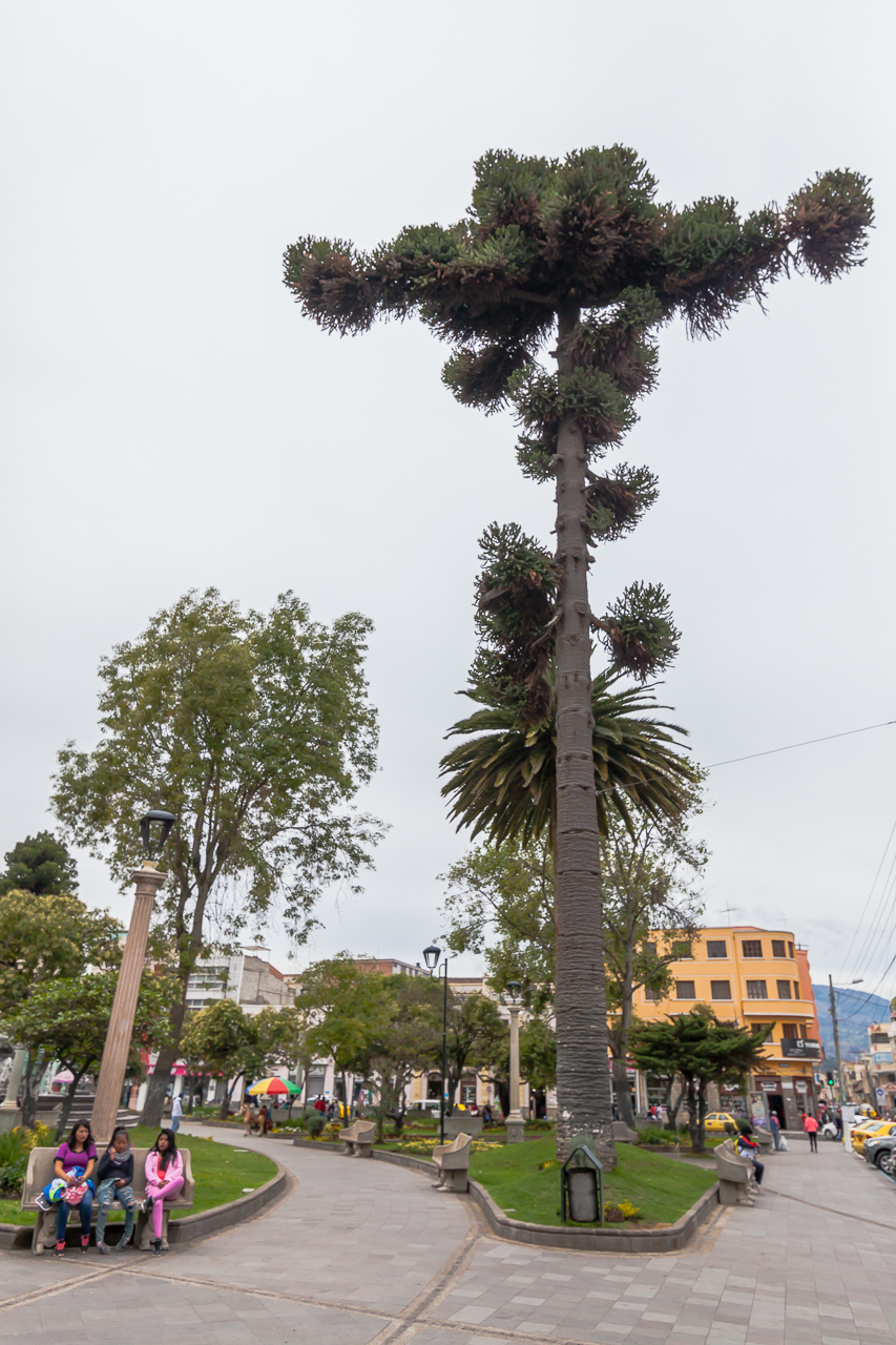 Riobamba - komische Bäume in einen der vielen Parks