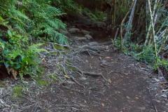 Im Nationalpark Huerquehue - oder einfach auch ein Weg voller Wurzeln