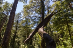 Im Nationalpark Huerquehue - alte, große Bäume