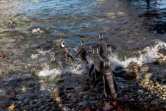 Die Pinguine auf der Isla Magdalena