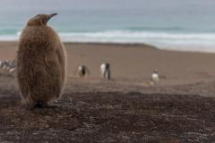 Saunders Island - ein Jungtier