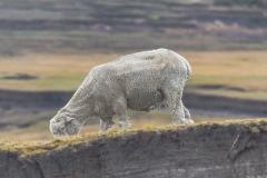 Saunders Island - das Schaf hat nicht so richtig hier her gepasst