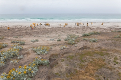 Saunders Island - Blick auf den Strand mit ankommenden Pinguinen