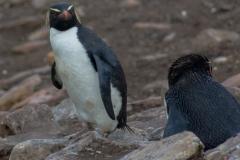 Saunders Island - in der Pinguinkolonie