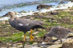 Falklandinseln - Rund um Stanley - ein paar Vögel auf der Tour, Namen vergessen :-)
