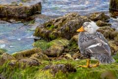 Falklandinseln - Rund um Stanley - Falkland-Enten