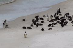 Falklandinseln - Rund um Stanley - eine Pinuinkolonie weiter weg