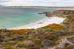 Falklandinseln - Rund um Stanley - die bevölkern einen schönen Strand