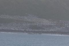 Right Whale Bay: die kleinen Punkte sind alles Pinguine