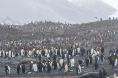 St. Andrew's Bay - Blick auf die Pinguinkolonie