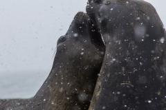 St. Andrew's Bay - See-Elefanten beim Kräftemessen