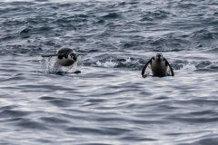 Point Wild, Elephant Island: Zügelpinguine