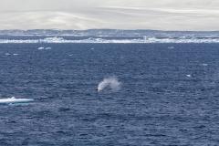 Zwischen Kinnes Cove und Brown Bluff: Wal in einiger Entfernung