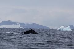 D'Hainaut Island: mit dem Zodiacs einem Wal hinterher